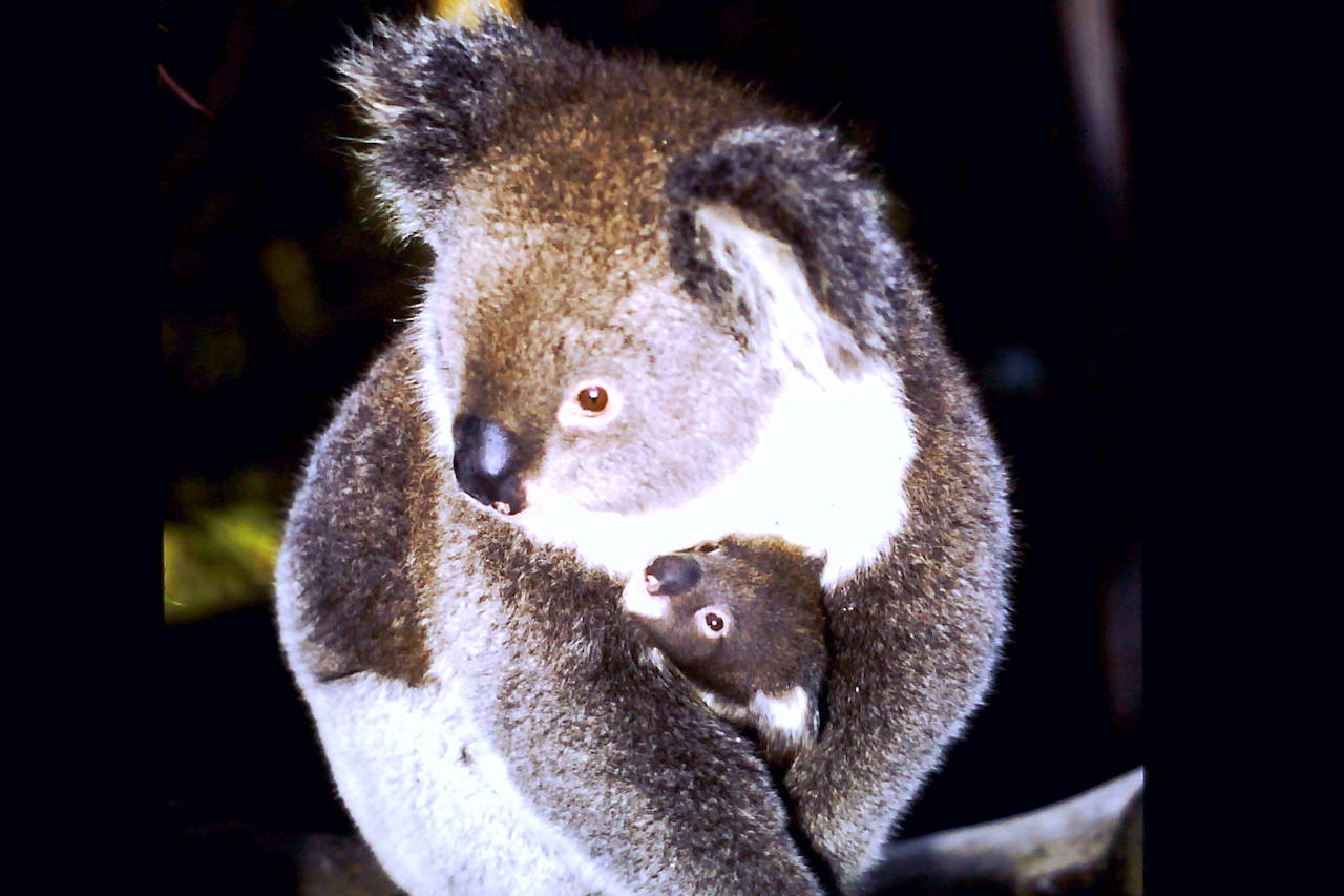 Koala Overlay Assessments / Plans and Land Management Plans